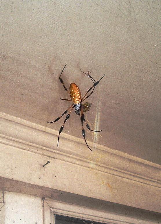 Spidershe